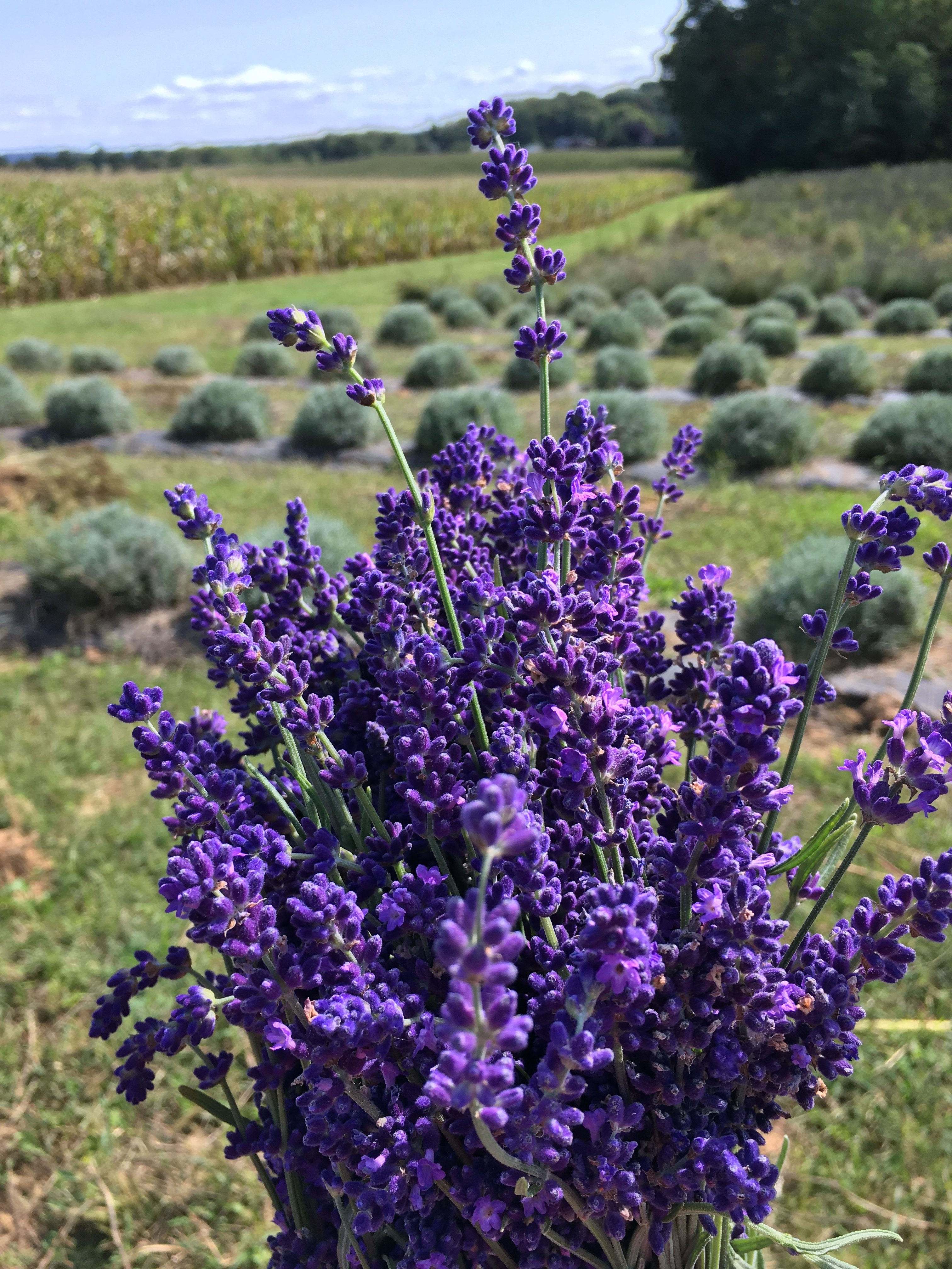 Holiday Shopping with Lavender Brook Farm